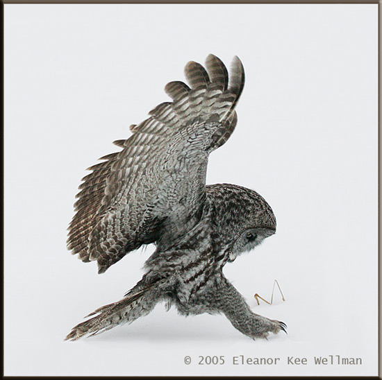 Great Gray Owl Grabbing