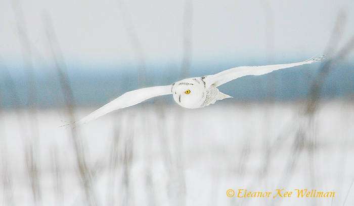 Snowy Owl Through Grasses