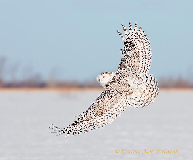 Snowy Owl Wing Tops