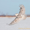 Snowy Owl Wing Tops