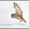 Barred Owl Flying Down #6