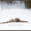 Barred Owl on Prey in Snow #2