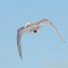 Snowy Owl Flying Away