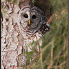 Barred Owl in Spruce Tree - Captive