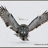 Great Gray Owl Coming In<br /> 19503