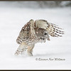 Barred Owl Take Off #2