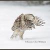 Barred Owl Take Off #2