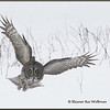 Great Gray Owl Over Brambles