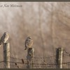 Short-eared Owls Perched