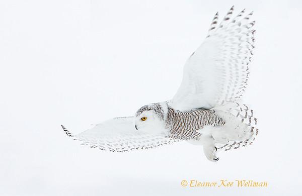 Snowy Owl Fly-By