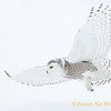 Snowy Owl Fly-By