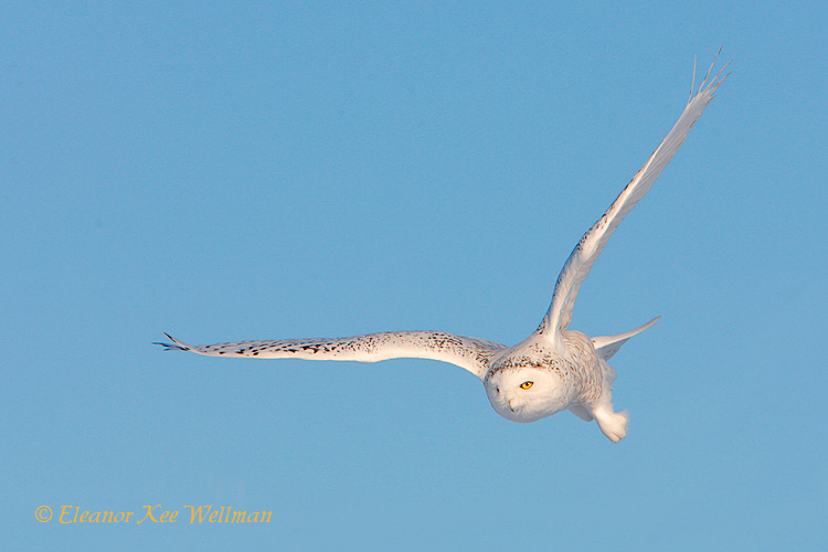 Snowy Owl Coming In