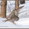 Barred Owl Flying Down #4