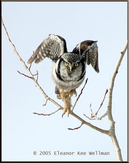Northern Hawk Owl - The Crane