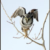 Northern Hawk Owl - The Crane