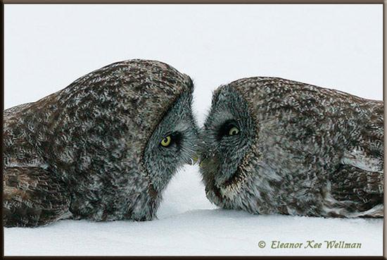 Great Gray Owls Beak to Beak