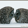 Great Gray Owls Beak to Beak