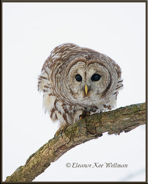 Barred Owl Watching Prey.