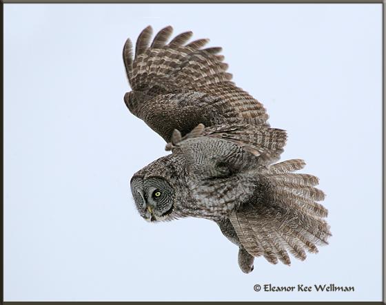Great Gray Owl Flight
