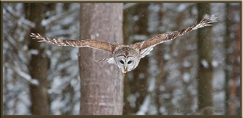 Barred Owl Swooping Down