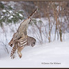 Barred Owl Flying Down #5
