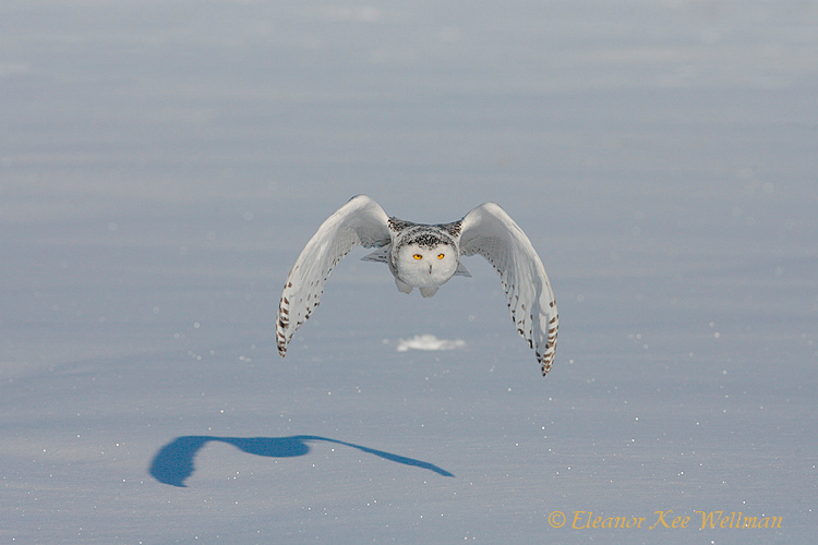 Snowy Owl Flying with Shadow