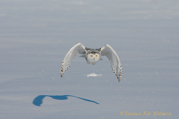 Snowy Owl Flying with Shadow
