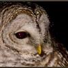 Barred Owl by Window, Bala, ON