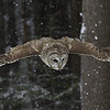 Barred Owl Wings Spread.  This image was used for Canadian Owls Survey poster.
