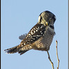 Northern Hawk Owl on Branch