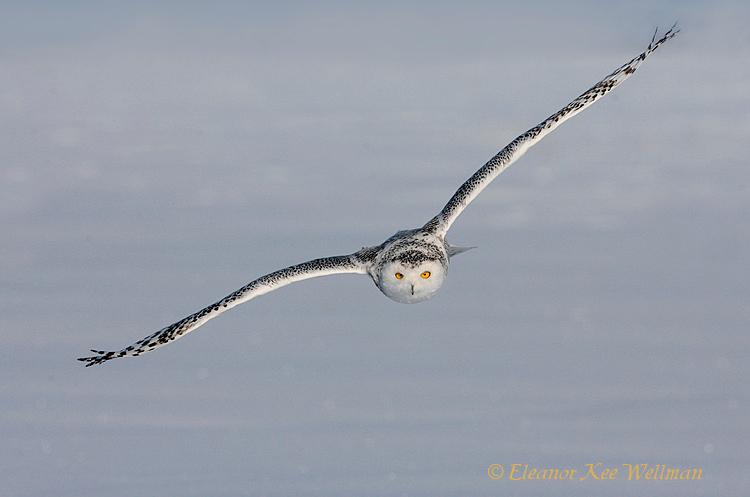 Snowy Owl Flying In