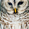 Barred Owl by Window #2