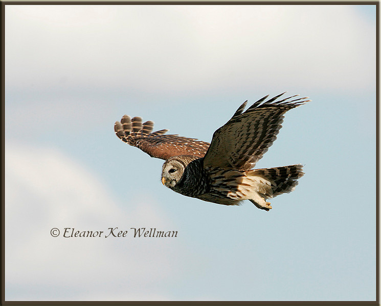 Barred Owl Flying By, Wings Up