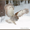 Barred Owl Flying Down #3