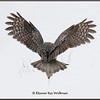The Mouse's Tail<br /> First of eight in Great Gray Owl Portfolio