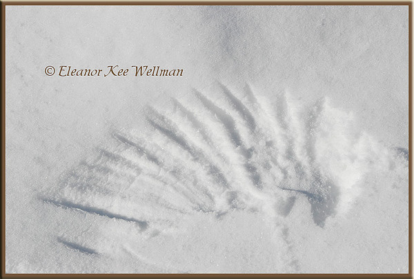Great Gray Owl Wing Mark