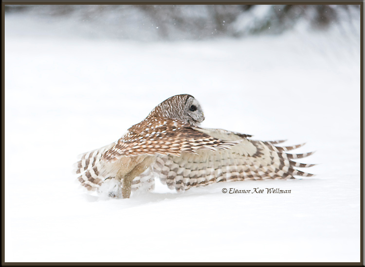 Barred owl Take Off #1