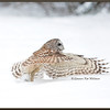 Barred owl Take Off #1