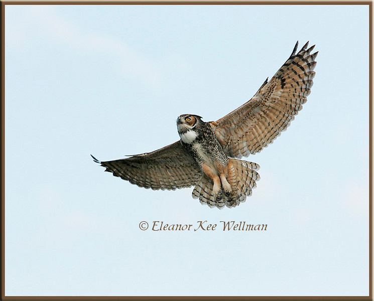 Great-horned Owl Flying Up