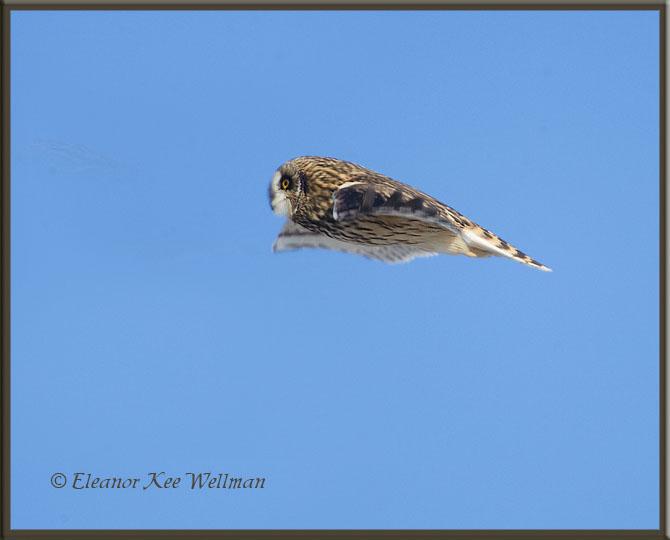 Short-eared Owl Fly-by