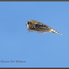 Short-eared Owl Fly-by
