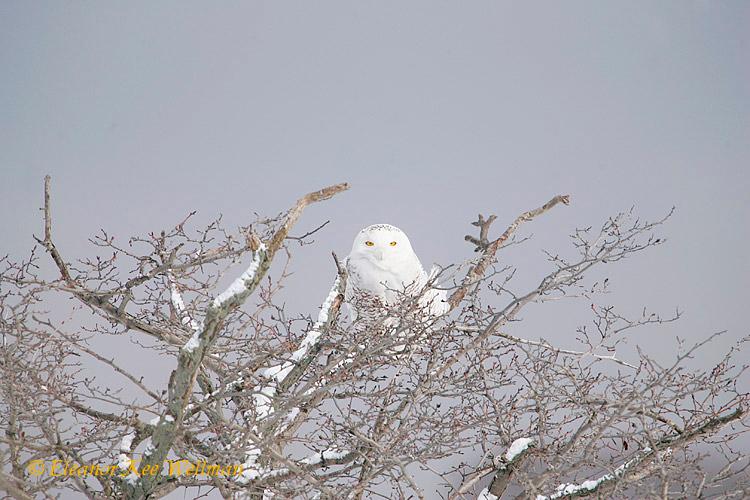Snowy Owl in Tree