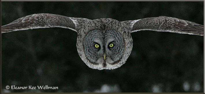 Great Gray Owl Pano Flight