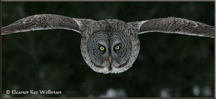 Great Gray Owl Pano Flight