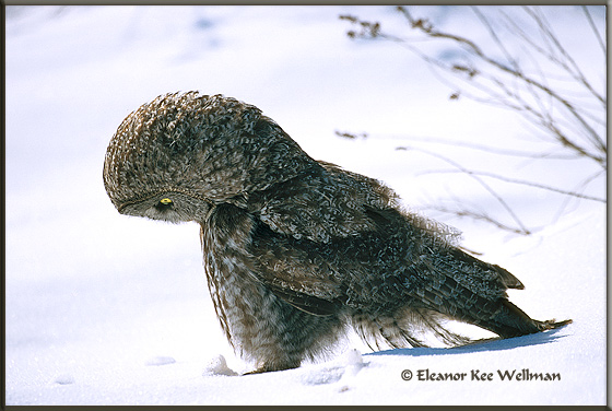 Great Gray Owl on Mouse