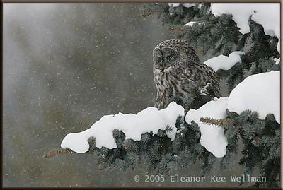 Great Gray Owl with Snow in Tree