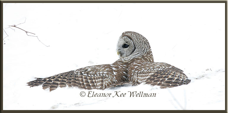 Barred Owl on Vole in Snow