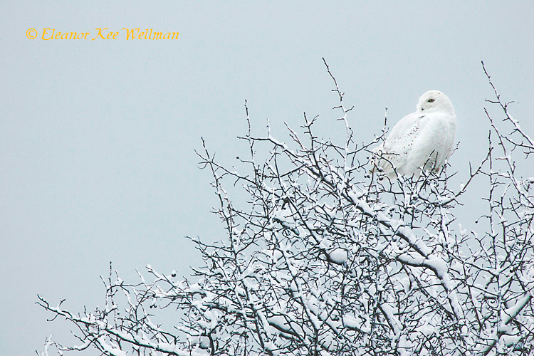Snowy Owl in Tree #2