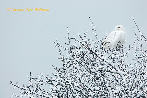 Snowy Owl in Tree #2
