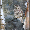Barred Owl Portrait in Birch